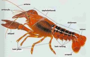 nama latin lobster air tawar