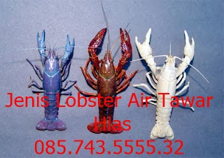 jenis lobster air tawar hias