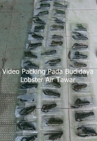 video packing pada budidaya lobster air tawar